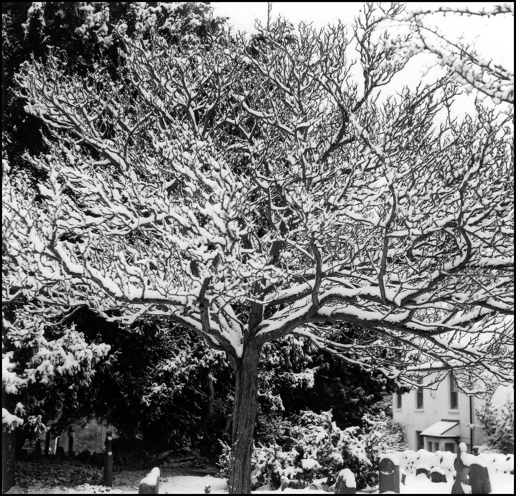 Snow tree | St Andrews churchyard