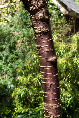 Birch Bark Cherry Tree 1