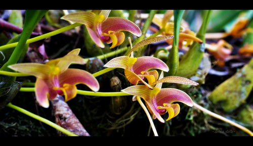 Lobb's Bulbophyllum { Bulbophyllum Lobbii }