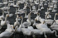 Swans, swans, swans