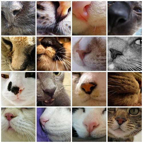 Cat Noses