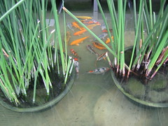 The fish pond at IT Park