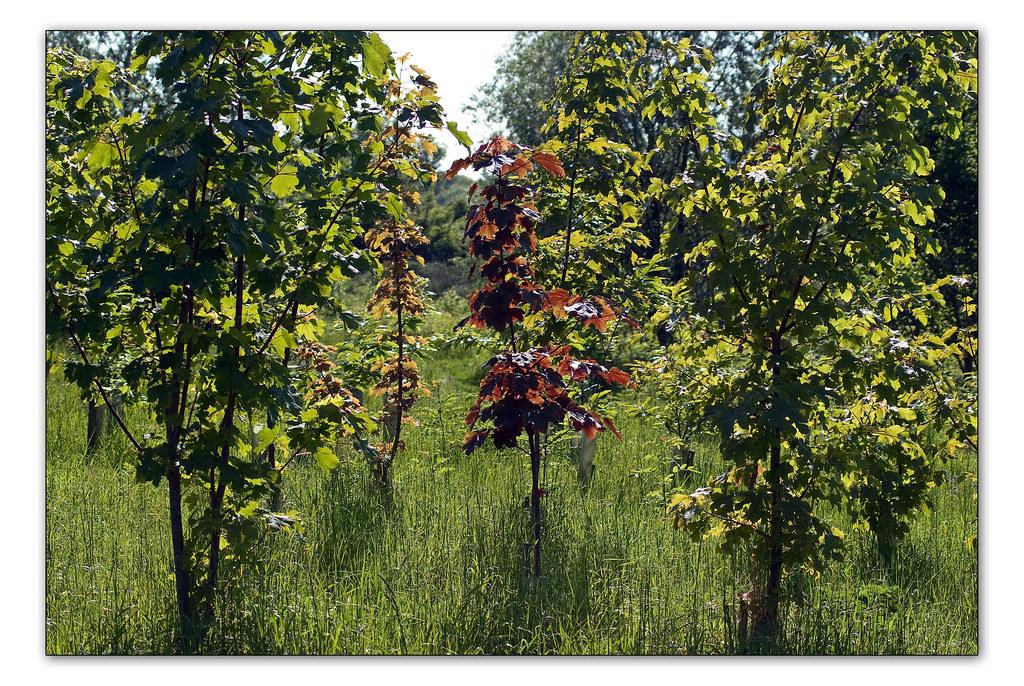 Broad Arboretum trees, summer