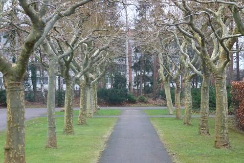 Plataner på Risbjerg Kirkegård
