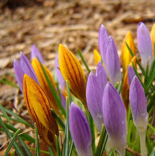Croci, waiting for the sun