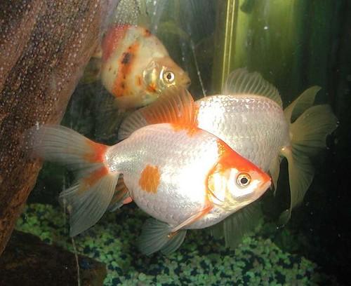 735px-Goldfish