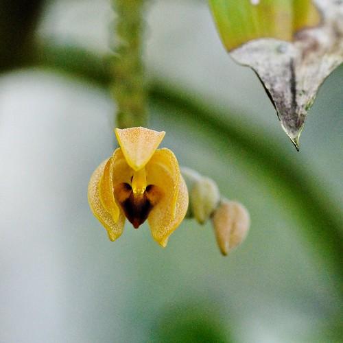 The Beautiful Eria {Eria pulchella}