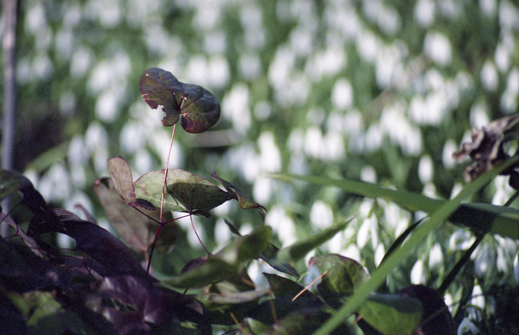 Leaves and snowdrops