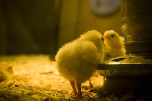 chicky baby