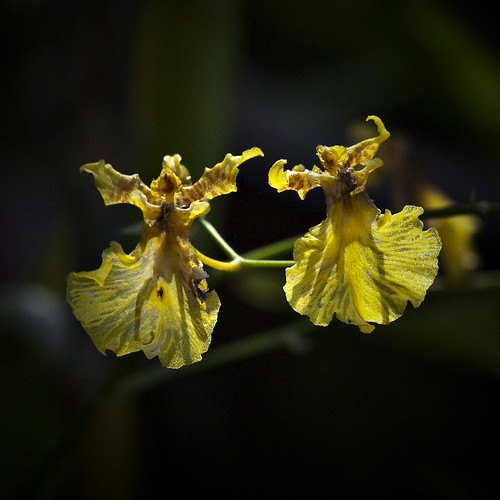 oncidium gower ramsey {dancing lady}