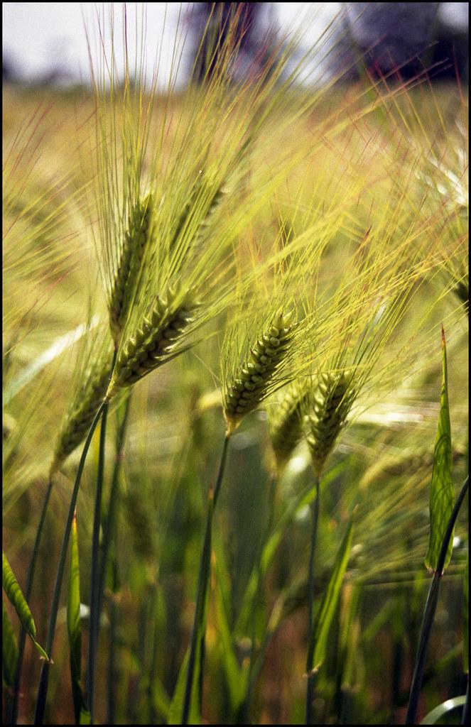 Wheat 2 | Dynax 9xi | C200