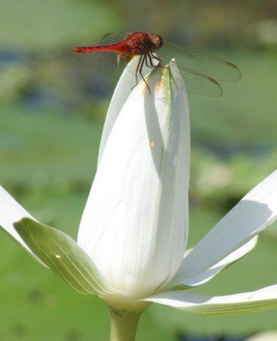 A dragonfly on a lotus flower