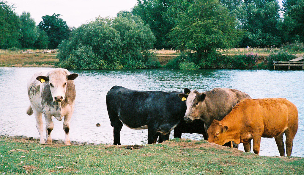 Port meadow cattle
