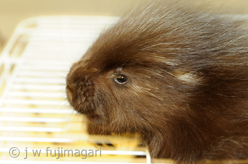 Charlie the Porcupine