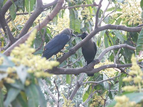 Crow Couple