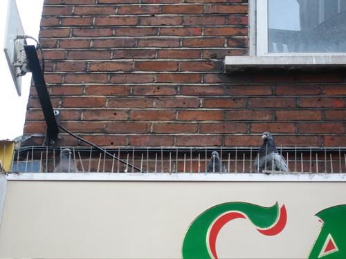 Pigeons Behind Bars