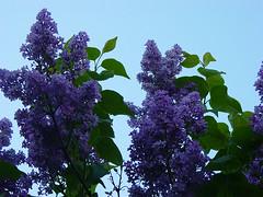 syrenkväll :: lilac evening
