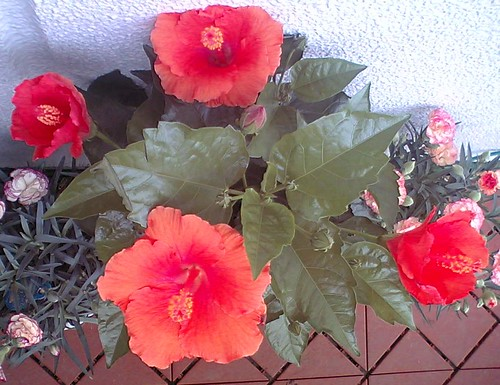 hibiscus with leaves