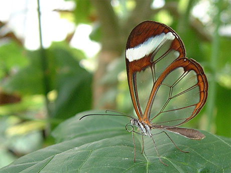 Transparent butterfly 01