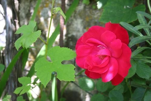 Rosa de quintal
