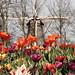 Tulipanes y molino al fondo