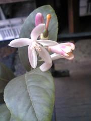 3pinklemonflower