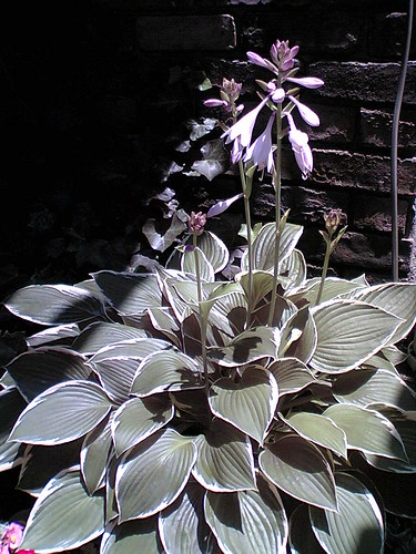 foliage of hosta