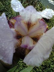 scary iris