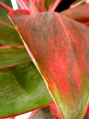 reddening leaf