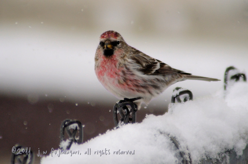 Redpoll (acanthis flammea) 5