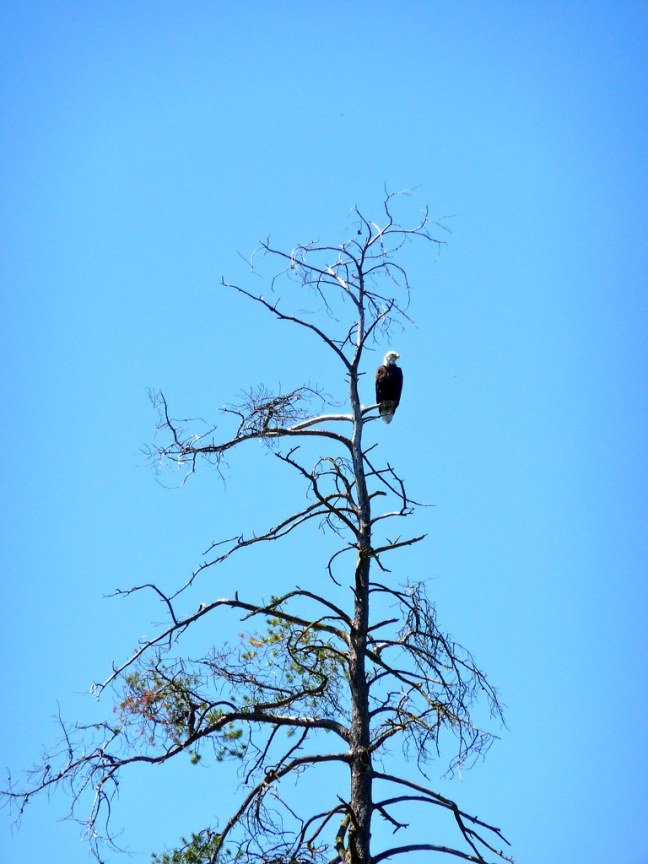 Bald Eagle on Swan River