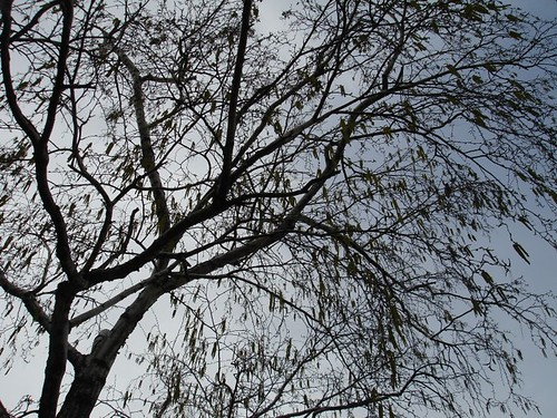 A northern Illinois birch tree in early spring 2006.