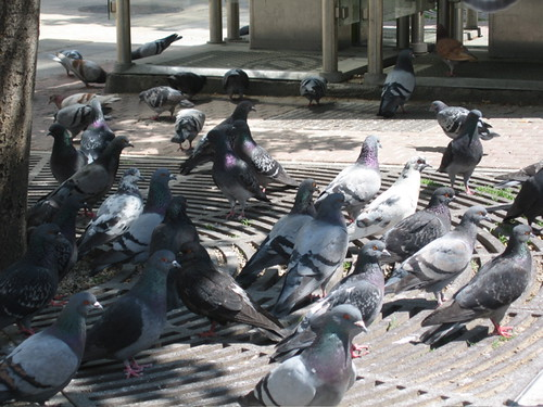 pigeons in the sunshine