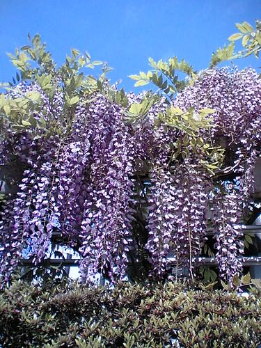 wisteria week2