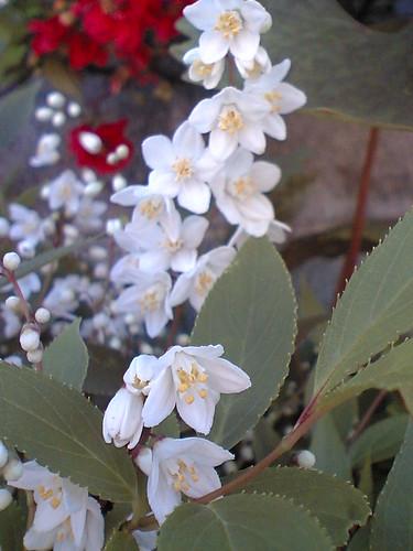 Hime-utsugi / Deutzia gracilis