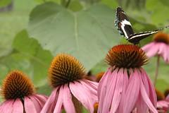 purple coneflower & butterfly