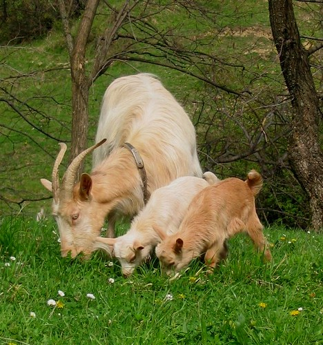 Image result for images of nanny goat and kid