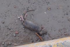 rats_small
