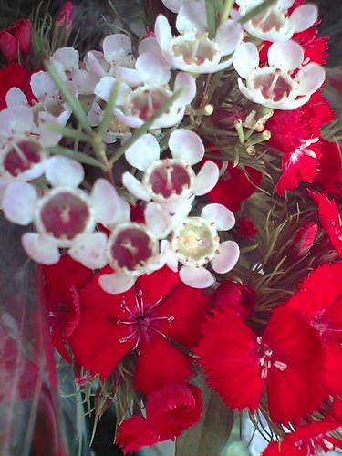 Dianthus combi