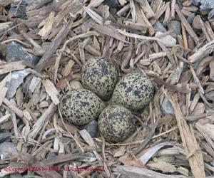 Killdeer Nest