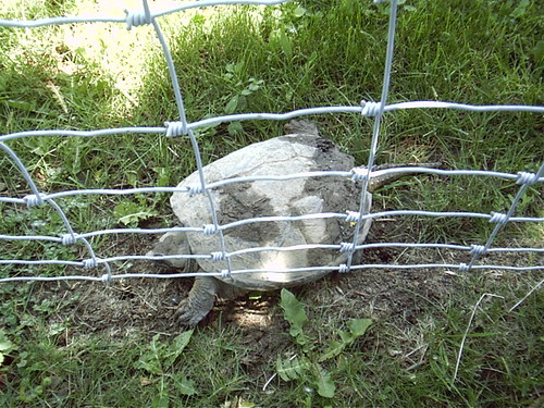 SnappingTurtle2_06112004