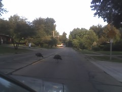 Turkeys in the street