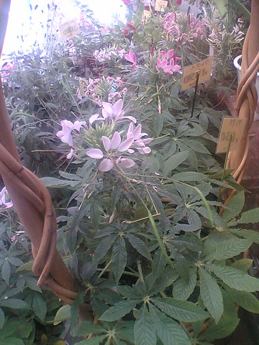 cleome bedding