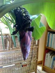 bananier en fleur8