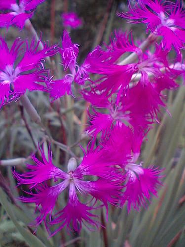 Wispy Dianthus / Nadeshiko