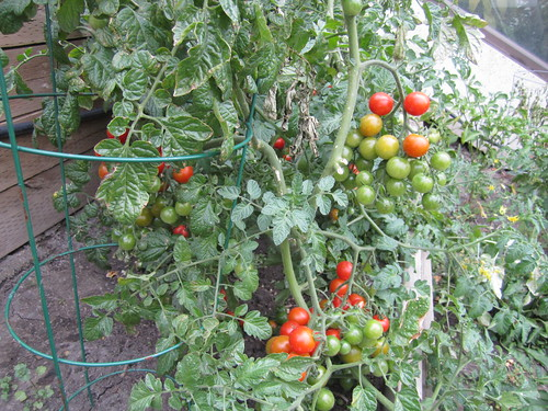Shaw Conference Centre Tomatoes