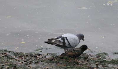 pigeon blog - little tel