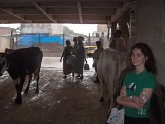 Hilleary, Cows, Rain