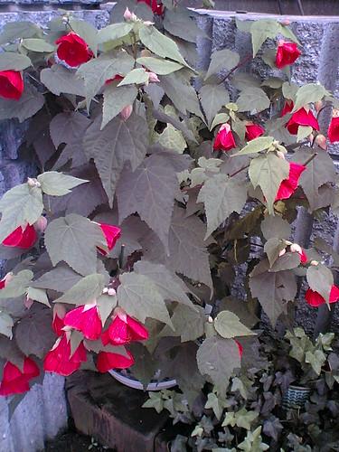 Scarlet J lanterns