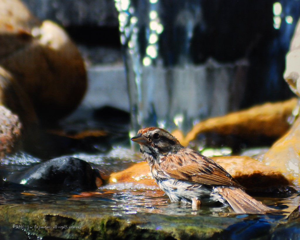 Song Sparrow Bathtime